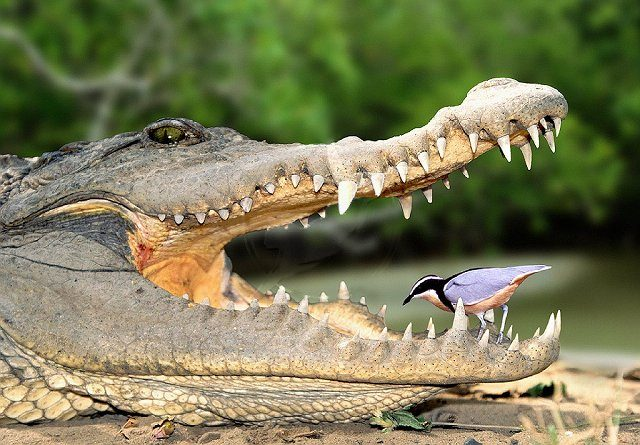 Nile crocodile and Egyptian plover Courtesy of www.wolver.org